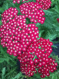 Achillea-'Song-Siren-Laura'