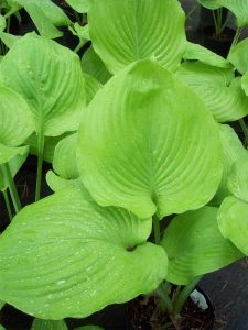 Hosta-'Sum-and-Substance'