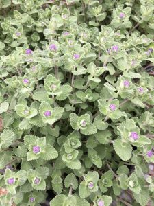 Nepeta-'Early-Bird'